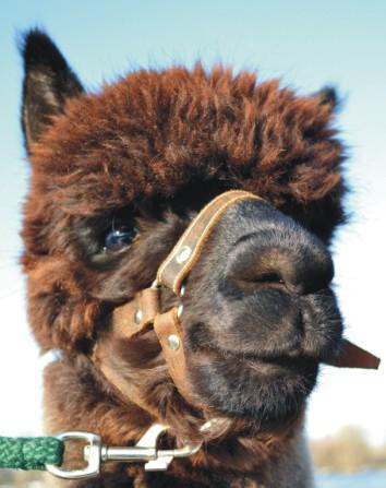 Tiergestützte Therapie Alpaka ...
