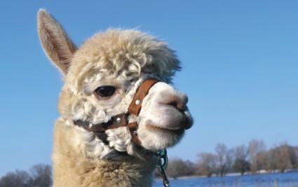 Tiergestützte Therapie Alpaka *....